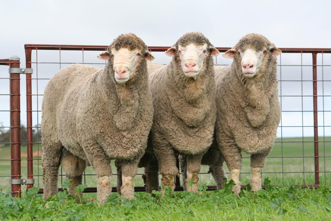 Lewisdale Corrigin Rams
